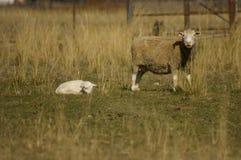 Flock av tackor med deras lamm i ett fält på en lantgård under en bestämt torr torkasäsong arkivfoto