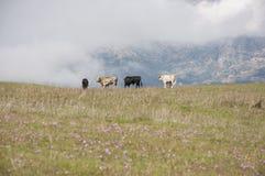 Flock av tjurar royaltyfri bild