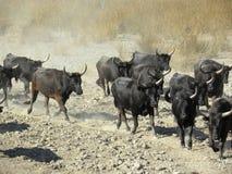 Flock av tjurar i prärien fotografering för bildbyråer