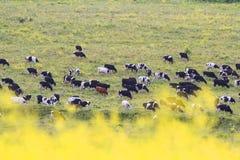 flock av tjurar och kor som långt borta betar i ängen royaltyfri bild