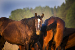 Flock av Trakehner hästar på sommar Arkivfoto