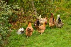 Flock av utomhus- hönor royaltyfri foto