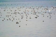 Flock av utvandrande änder för våtmarkfåglar i en sjö arkivfoto