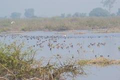 Flock av utvandrande vattenfågel i sjön royaltyfria foton
