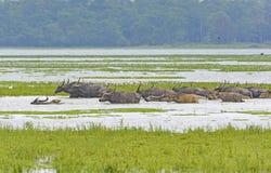 Flock av vattenbuffeln som korsar en flod royaltyfri foto