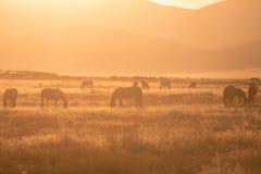 Flock av vildhästar i den Utah öknen på soluppgång royaltyfri foto