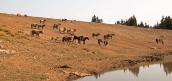 Flock av vildhästar i området för Pryor bergvildhäst i Montana USA arkivbilder