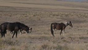 Flock av vildhästar i Utah lager videofilmer