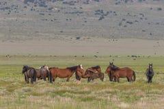 Flock av vildhästar i vår fotografering för bildbyråer