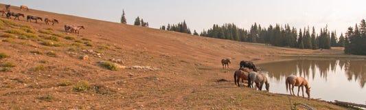 Flock av vildhästar på waterhole i ottan i området för Pryor bergvildhäst i Montana USA arkivfoto