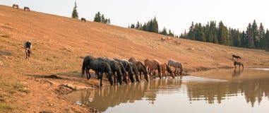 Flock av vildhästar som dricker på att bevattna hålet i området för Pryor bergvildhäst i staterna av Wyoming och Montana arkivbilder