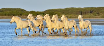 Flock av vita Camargue hästar som kör på vattnet arkivbilder
