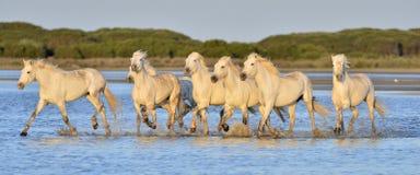 Flock av vita Camargue hästar som kör på vattnet Royaltyfri Fotografi