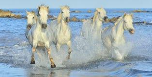 Flock av vita Camargue hästar som kör på vattnet Royaltyfri Foto