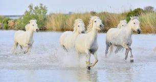 Flock av vita Camargue hästar som kör till och med vatten arkivbild