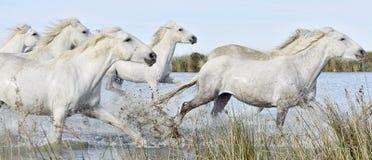 Flock av vita Camargue hästar som kör till och med vatten royaltyfri foto