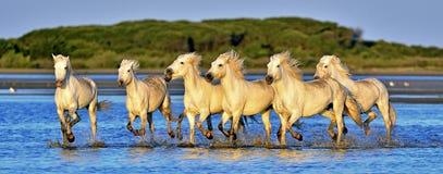 Flock av vita Camargue hästar som kör till och med vatten arkivfoton