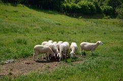 Flock av vita får Arkivbild