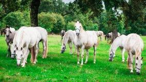 Flock av vita hästar royaltyfri fotografi