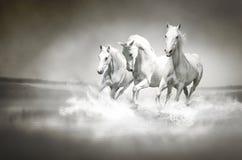 Flock av vita hästar som kör till och med vatten