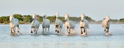 Flock av vita hästar som kör till och med vatten i solnedgångljus Arkivfoton