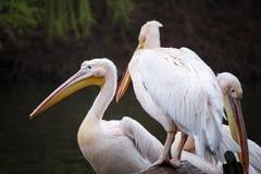 Flock av vita pelikan på sjön Fotografering för Bildbyråer
