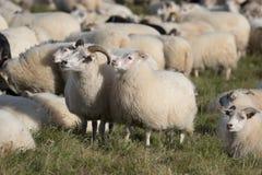 Flock av vita RAMf?r som betar i f?ltet och ser med intresse i solig dag iceland royaltyfri fotografi