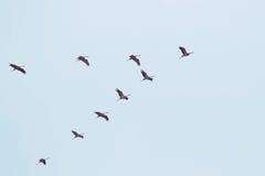 Flock av vita storkar Royaltyfri Fotografi