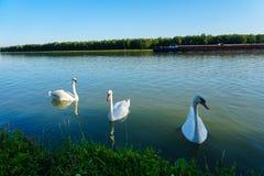 Flock av vita svanar på Danube River, Österrike fotografering för bildbyråer