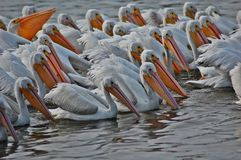 Flock av vitpelikan Arkivbild