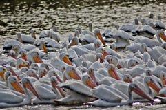Flock av vitpelikan Fotografering för Bildbyråer
