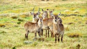 Flock av Waterbuck i Afrika Arkivfoton
