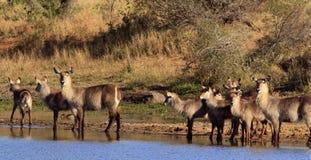 Flock av waterbuck på waterholen Royaltyfri Foto