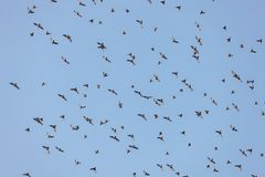 Flock av waxwings royaltyfri foto