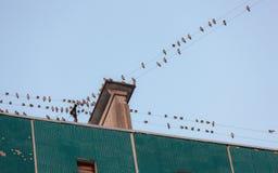Flock av waxwings arkivfoto