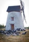 Flock av wheep.GN Royaltyfri Fotografi