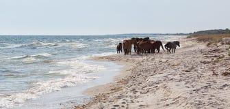 Flock av wild hästar Arkivfoton