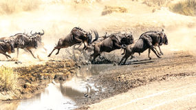 Flock av wildebeesten Arkivfoton