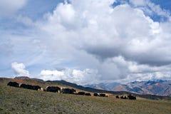 Flock av yaks arkivbilder