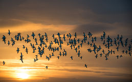 Flock of Avocets in flight. Flock of wild Avocets (Recurvirostra avosetta) seen at dawn in Norfolk UK Royalty Free Stock Photography