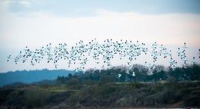 Flock of Avocets in flight Stock Image