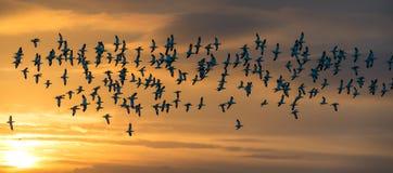 Flock of Avocets in flight Royalty Free Stock Image