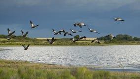 Flock of Bandurrias Stock Image