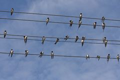 Many swallows sitting on the wires. Flock of barn swallow Hirundo rustica Royalty Free Stock Photos