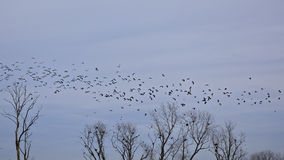 Flock of barn swallows in flight above tree tops with sitting great cormorants Royalty Free Stock Photo