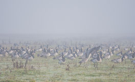 Flock of barnacle geese. Stick together on a frosty and misty morning as the sun is about to rise Royalty Free Stock Photography