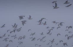 Flock of barnacle geese. Flying over on a frosty and misty morning Royalty Free Stock Photos
