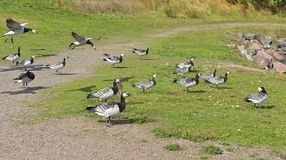 Flock of Barnacle geese Branta leucopsis feeding at Helsinki, Finland Royalty Free Stock Photography