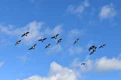 Flock of Barnacle geese (Branta leucopsis) Stock Photography