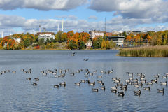 Flock of Barnacle geese (Branta leucopsis) on Toolonlahti bay. Helsinki Royalty Free Stock Photos